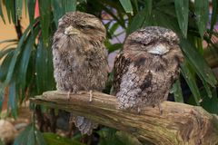 Tawny frogmouths Royalty Free Stock Photo