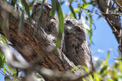 Tawny Frogmouths (Podargus strigoides) Royalty Free Stock Photography