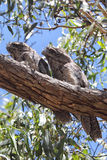 Tawny Frogmouths (Podargus strigoides) Royalty Free Stock Photo
