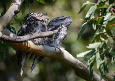 Tawny frogmouths. In Queensland, Australia Royalty Free Stock Photos