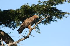 Tawny Hawk Stock Images