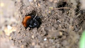 Tawny mining bee Andrena fulva. A female solitary mining bee digging a tunnel to be used for breeding, pushing soil with hind legs, and hiding the entrance stock footage