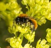 Tawny Mining Bee en árbol floreciente del acer Imagen de archivo