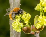 Tawny Mining Bee en árbol floreciente del acer Imagen de archivo libre de regalías