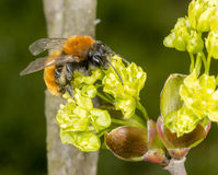 Tawny Mining Bee on flowering acer tree Royalty Free Stock Image