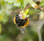 Tawny mining bee on gooseberry flower Stock Photo