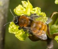 Tawny Mining Bee sur l'arbre fleurissant d'acer Image stock