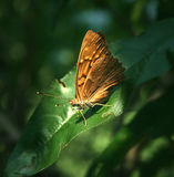 Tawny Orange Butterfly Photos libres de droits