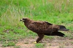 Tawny orzeł (Aquila rapax) fotografia stock