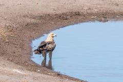Tawny orzeł w waterhole w północnym Namibia Obraz Stock