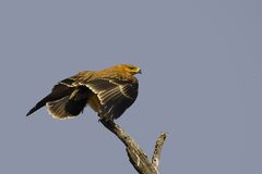 Tawny orzeł (Aquila rapax) Zdjęcia Stock