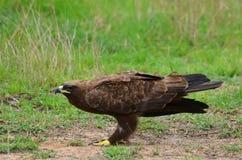 Tawny orzeł (Aquila rapax) Obrazy Royalty Free