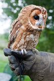 Tawny owl. Or Strix Aluco sitting on a gloved hand royalty free stock photography