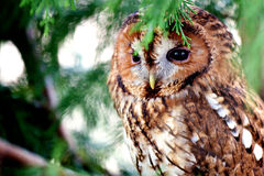 A tawny owl. An adult tawny owl sitting in a pine tree Royalty Free Stock Photo