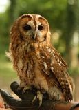Tawny Owl. Portrait of a Tawny Owl Stock Images