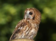 Tawny Owl Royalty Free Stock Photos