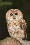 Tawny owl. Resting on log stock photos