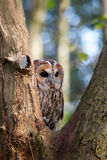 A tawny owl. In an old tree Royalty Free Stock Image