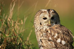 Tawny owl. A tawny owl seeking for his dinner stock photo
