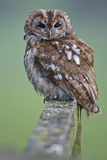 Tawny Owl Stock Photos