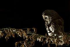 Tawny Owl Stock Image