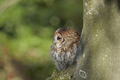 Tawny Owl. A captive Tawny Owl,Strix aluco, on a tree in a forest royalty free stock photo