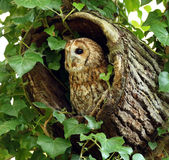 Tawny Owl. A Tawny Owl appearing out of a hollow log in woodland Stock Photos