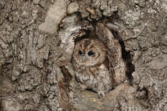 Tawny owl. A captive Tawny Owl perched in a hole in a large tree royalty free stock photos
