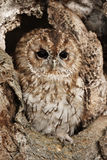 Tawny owl. A close up of a captive Tawny Owl perched in a hole in a large tree stock photo
