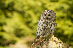 Tawny Owl Stock Images
