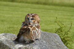 Tawny Owl. Royalty Free Stock Photography