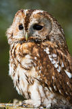 Tawny Owl Photos stock