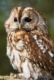Tawny Owl Stockfotos