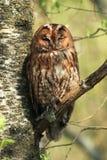 Tawny Owl fotografía de archivo libre de regalías