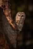 Tawny Owl Stockbild