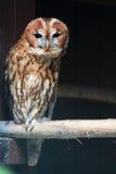 Tawny Owl Royalty-vrije Stock Afbeeldingen