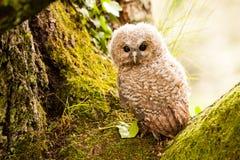 Tawny Owl royalty-vrije stock fotografie