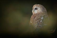 Tawny Owl Imagen de archivo libre de regalías