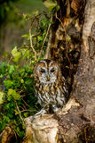 Tawny Owl. Perched on a branch Stock Images