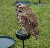 Tawny Owl Royaltyfria Bilder