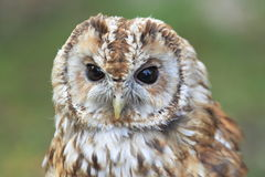 Tawny Owl Photos stock