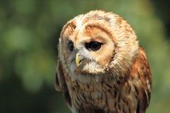 Tawny Owl Stockbilder