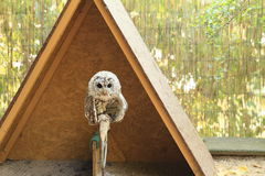 Tawny Owl Immagine Stock Libera da Diritti
