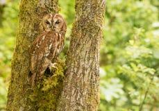 Tawny Owl royalty-vrije stock foto's
