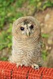 Tawny Owl Immagini Stock Libere da Diritti