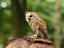Tawny Owl Royaltyfri Fotografi
