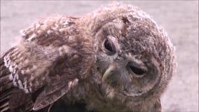 Tawny Owl video d archivio