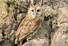 Tawny Owl. A Tawny Owl on a tree trunk showing how well it is camouflaged royalty free stock image
