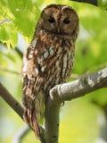 Tawny Owl Immagine Stock