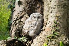 Tawny Owl Royaltyfri Bild